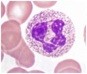 http://www.eurostemcell.org/files/neurtrophils_in_peripheral_blood_Wellcome_Images_crop.jpg